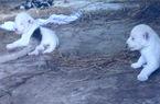 NÓNG: Cặp sư tử trắng... như tuyết vừa ra đời ở TP HCM