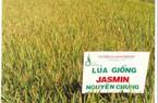 Bình Định: 525 tấn lúa giống giúp nông dân