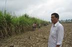 Phú Yên: Nhiều cam kết ưu đãi nông dân trồng mía