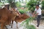 Tiếp vốn cho nông dân nuôi bò