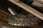 Hãi hùng chuyện hàng trăm rắn độc từ núi tràn về phố giết người