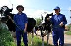 Nuôi bò sữa - nông dân kiếm... tiền tỷ
