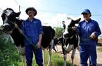Mộc Châu – mảnh đất của những tỷ phú bò sữa