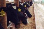 Trang trại bò sữa ở Richmond Downs có gì đặc biệt?