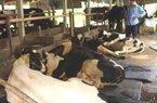 Dịch lở mồm long móng đang đe dọa 80.000 con bò sữa ở TP.HCM