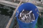Khánh Hòa: Hàng tấn cá bớp chết bất thường, người dân khốn đốn