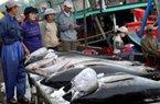 """Việt Nam có thể trở thành """"đại gia"""" xuất khẩu cá ngừ"""