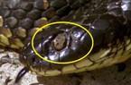 Loài vật khiến hầu hết rắn hổ kịch độc mù mắt trên đảo Úc