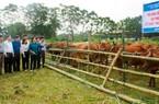 """""""Hóa giải"""" điểm yếu của chăn nuôi đại gia súc: Cải tạo và nâng cao chất lượng giống"""