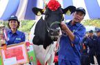 """Cô bò cho 15 tấn sữa/năm chính thức đăng quang """"Hoa hậu"""""""