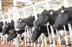 Cục Chăn nuôi lên tiếng về việc Bộ Y tế nói không đủ sữa tươi cho sữa học đường