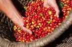 Giá nông sản hôm nay 8/11: Giá cà phê tăng mạnh, giá tiêu không khởi sắc