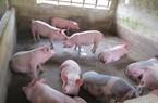 """Giá heo hơi hôm nay 8/11: Giá lợn hơi giảm, tư thương vẫn """"hét giá"""" trên trời"""