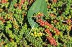 """Giá nông sản hôm nay 13/11: Giá cà phê, giá tiêu cùng """"dắt tay"""" nhau giảm mạnh"""