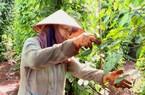 Giá hồ tiêu thấp nhất 20 năm, nông dân thẫn thờ ngồi chờ chín rụng