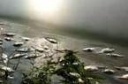 Phú Thọ: Người đổ bệnh, cá chết hàng loạt vì trại gà xả thải