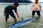 """Bộ đội biên phòng """"hộ tống"""" cá heo mắc cạn trở lại biển tại Quảng Nam"""