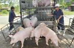 """Giá lợn hơi liên tiếp phá đỉnh, thương lái """"mỏi mắt"""" tìm mua"""