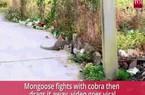 Video: Hổ mang chúa kịch độc đụng độ khắc tinh và cái kết một mất một còn