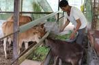 Sơn La: Dân tất bật chống rét cho đàn trâu, bò, dê
