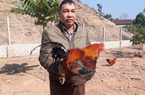 Thả đồi 500 con gà trống thiến bán Tết, cứ bán 1 con lãi 300.000đ