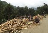 Lào Cai: Trồng thứ cây bán cả lá, cành lẫn vỏ, nông dân Bắc Hà thu gần 300 tỷ đồng