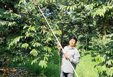 """Một nông dân tỉnh Bến Tre """"sáng chế"""" ra cách """"kích thích"""" cây sầu riêng đậu nhiều trái hơn bình thường"""