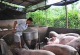 Giá lợn hơi hôm nay (28/11): Miền Bắc tăng ở một số tỉnh thành