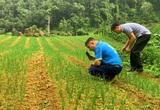 Bắc Kạn: Đất hoang giờ phủ kín thứ củ vừa cay vừa thơm, chưa thu hoạch đã có người đặt mua
