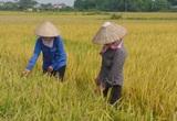 Thái Nguyên: Gieo cấy giống lúa lạ, nông dân mất trắng