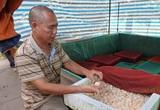 Thái Bình: Chán cá chuyển sang nuôi ốc nhồi, chỉ bán trứng thôi đã đút túi chục triệu mỗi ngày.