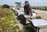 Ninh Bình: Đặt la liệt thùng ong ở rừng ngập mặn những ngày nắng gay gắt, cái kết bất ngờ
