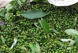 Bình Định: Tờ mờ sáng cơm đùm cơm nắm rủ nhau vô rừng hái thứ quả này bán đắt tiền