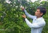 Bí quyết của 9X tỉnh Lai Châu trồng chanh leo hữu cơ quả sai lúc lỉu vạn người mê