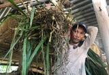 Chuyện lạ Bình Định: Tìm bò gầy gò, nông dân vỗ béo thành bò thịt nặng ký chất lượng cao