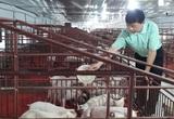 Một ông nông dân tỉnh Tuyên Quang nuôi lợn gặp thời, thu 14 tỷ mỗi năm, ở nhà lầu, sắm xe hơi