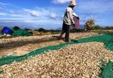 Khánh Hòa: Nông dân hối hả đào thứ củ trắng hếu, phơi la liệt ngoài đồng nhưng không thấy đầu nậu đâu