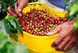 Giá nông sản hôm nay 28/1: Cà phê bật tăng trở lại, lợn hơi miền Bắc tiếp tục giảm mạnh