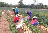 Đồng Tháp: Nông dân ra ruộng đào thứ củ to như cái chén ăn cơm, cứ 1 công lời hẳn 30 triệu