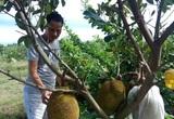 """Đổ xô trồng mít Thái, vì sao Cục Trồng trọt khẳng định không nên """"ác cảm"""" chuyện trồng - chặt?"""
