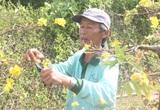 Sau Tết, người trồng mai mất ăn mất ngủ, xót xa bỏ hàng chục triệu đồng để chăm hoa