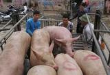Giá nông sản hôm nay 2/3: Lợn hơi giảm trên toàn quốc, tiêu tăng 500 đồng/kg