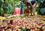 Giá nông sản hôm nay 4/3: DN lớn mạnh tay thu mua, tiêu liên tiếp tăng giá ở nhiều nơi