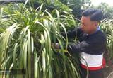 Lai Châu: Sin Suối Hồ-bản Mông ngày càng giàu lên nhờ trồng địa lan Trần mộng và làm du lịch cộng đồng