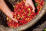 Giá nông sản hôm nay 18/4: Giá tiêu trong nước vẫn đi xuống, cà phê tăng 2 tuần liên tiếp
