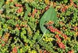 Giá nông sản hôm nay 20/10: Tiêu tăng sát mốc 90.000 đồng/kg