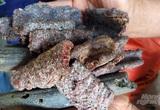 Một ông nông dân Thanh Hóa nuôi loài côn trùng này rồi lấy chất thải của nó đem bán lãi gấp 20 lần trồng keo