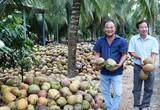 Giá dừa khô tăng cao, đạt mức hơn 100.000 đồng/chục