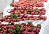 Xuất khẩu 100 tấn vải thiều Việt Nam sang Úc