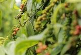 Giá nông sản hôm nay 22/9: Tiêu thấp nhất 76.000 đồng/kg, nguồn cung khan hiếm